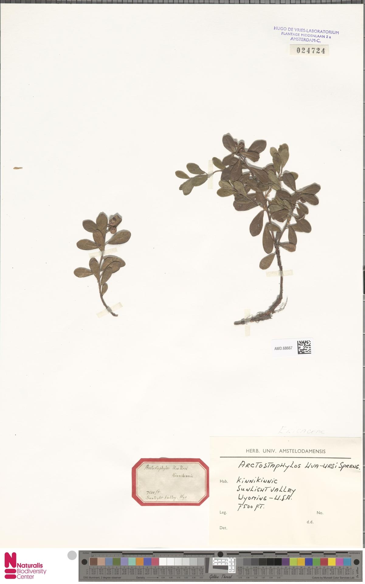 AMD.68667 | Arctostaphylos uva-ursi (L.) Spreng.