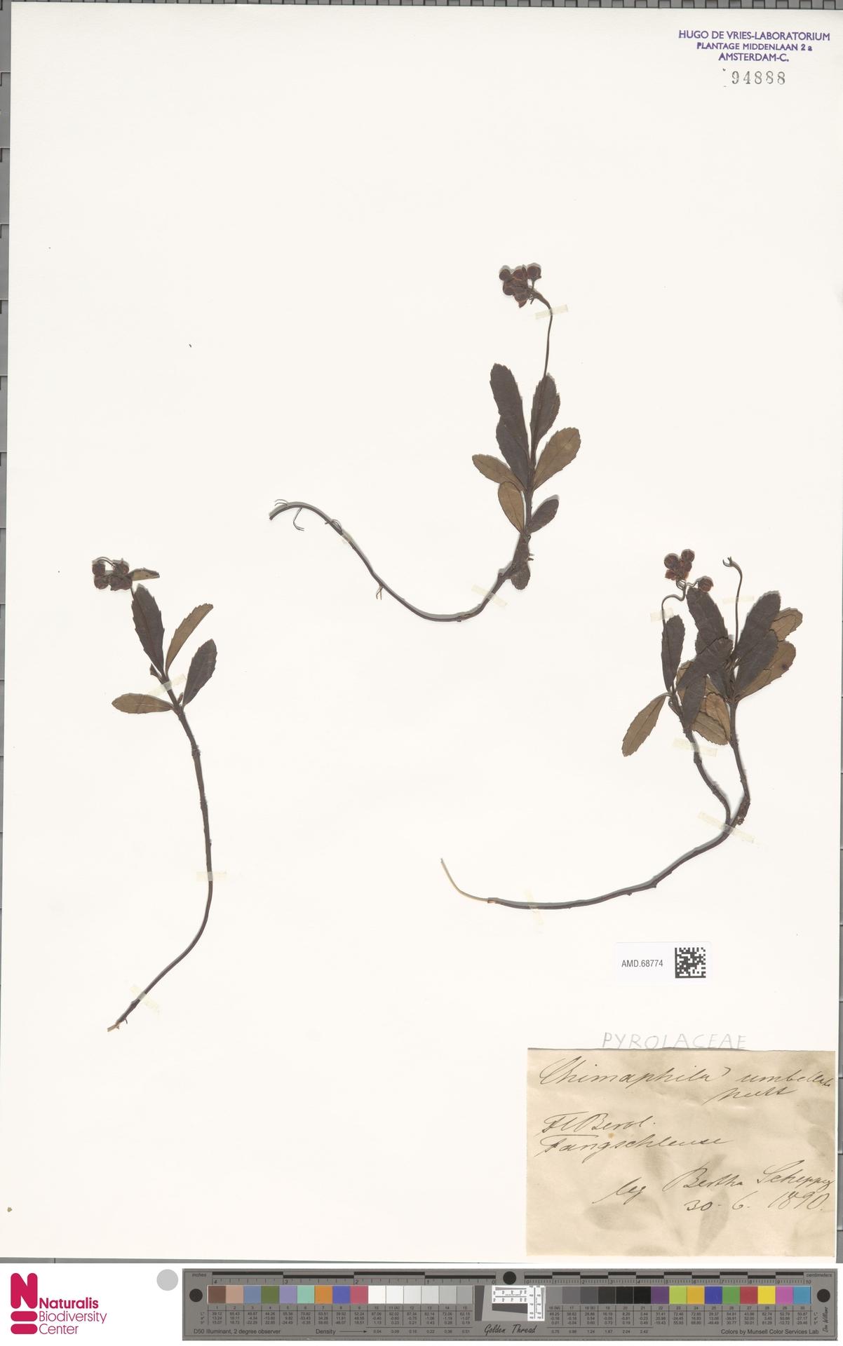 AMD.68774 | Chimaphila umbellata (L.) W.C.Barton
