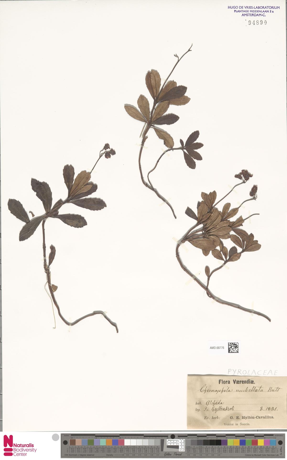 AMD.68776 | Chimaphila umbellata (L.) W.C.Barton