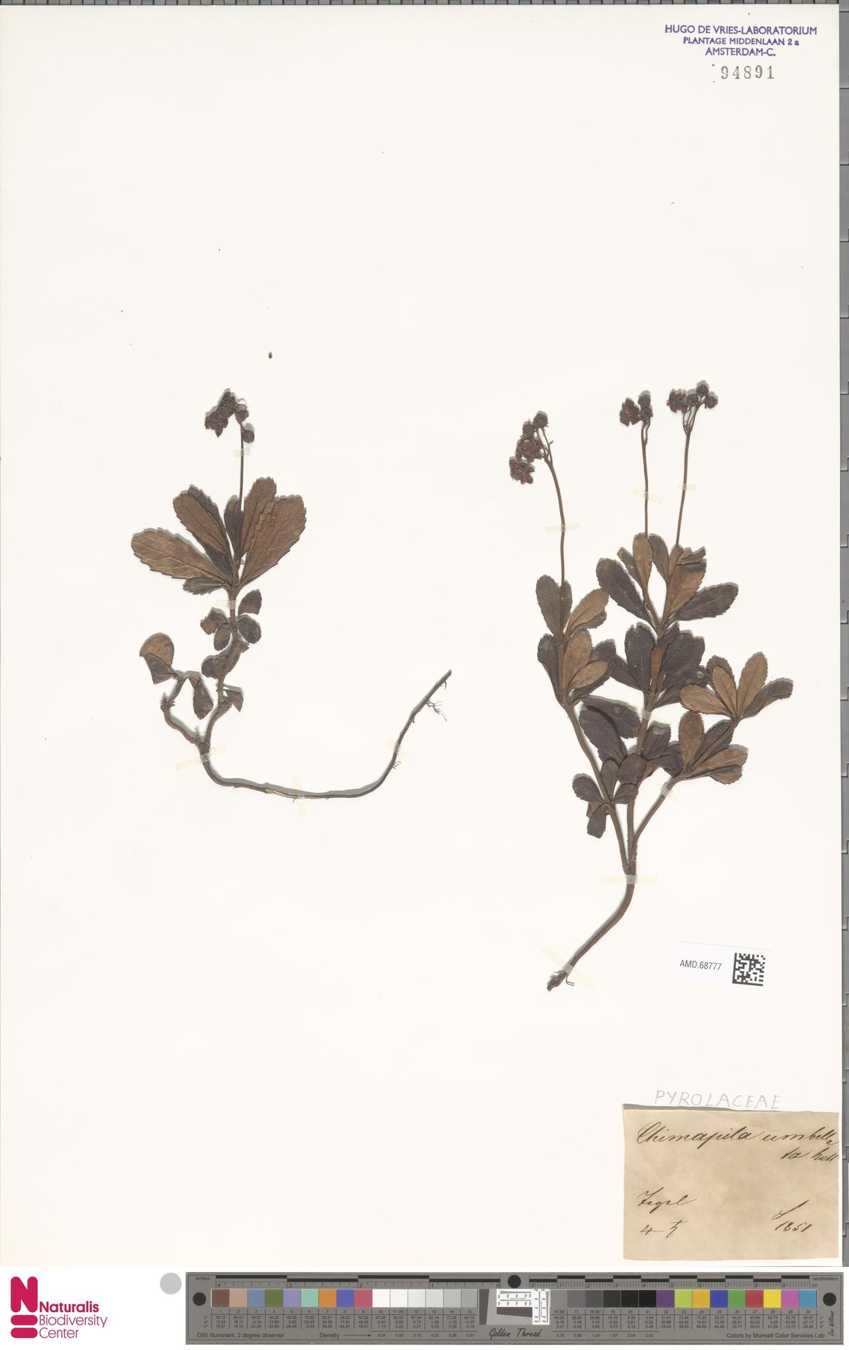 AMD.68777   Chimaphila umbellata (L.) W.C.Barton