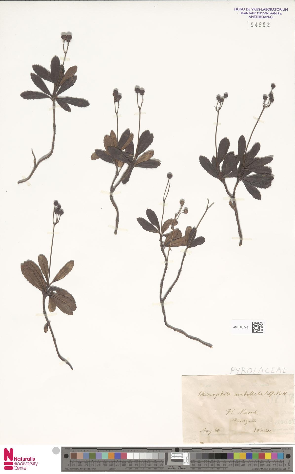 AMD.68778 | Chimaphila umbellata (L.) W.C.Barton
