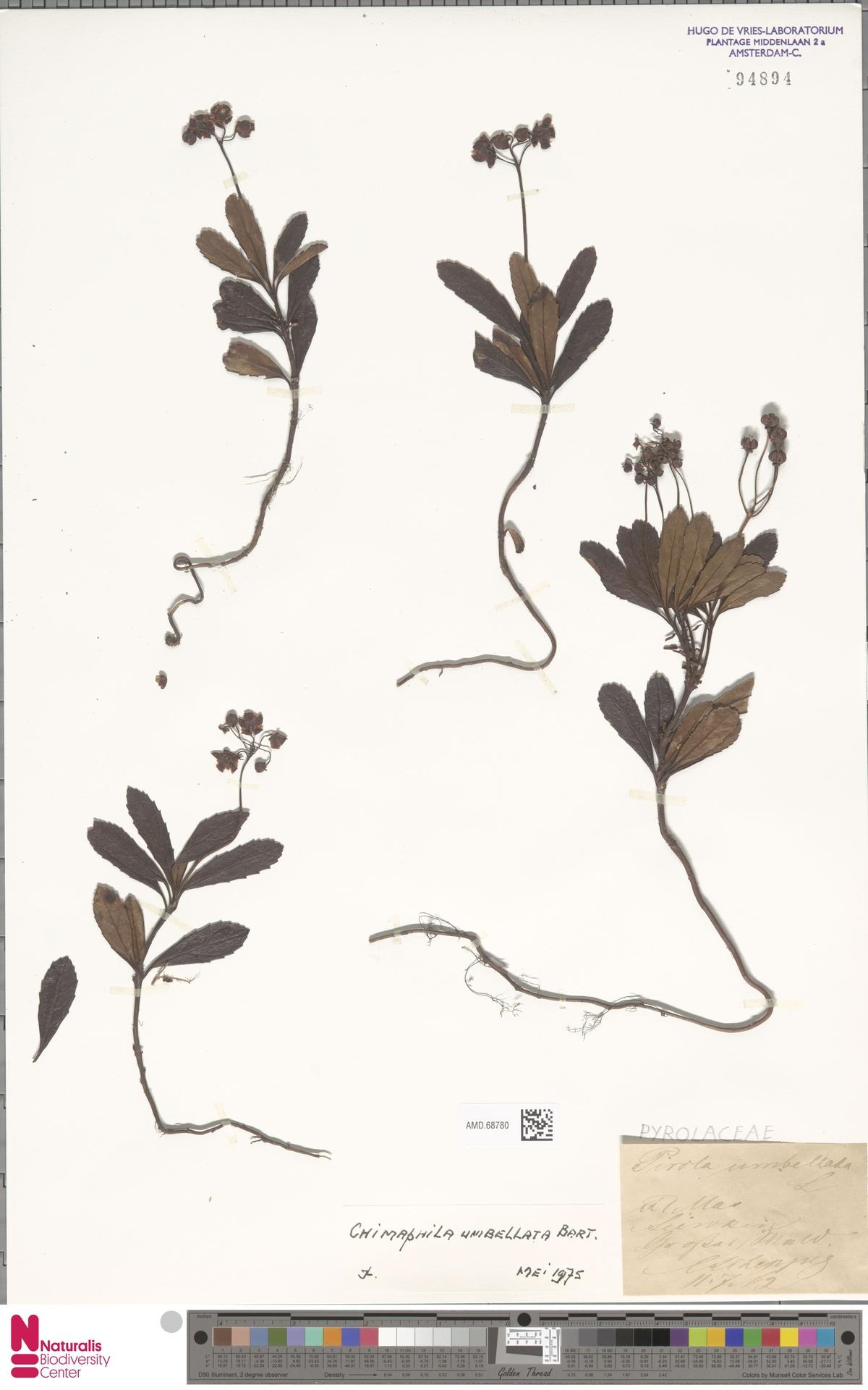 AMD.68780 | Chimaphila umbellata (L.) W.C.Barton
