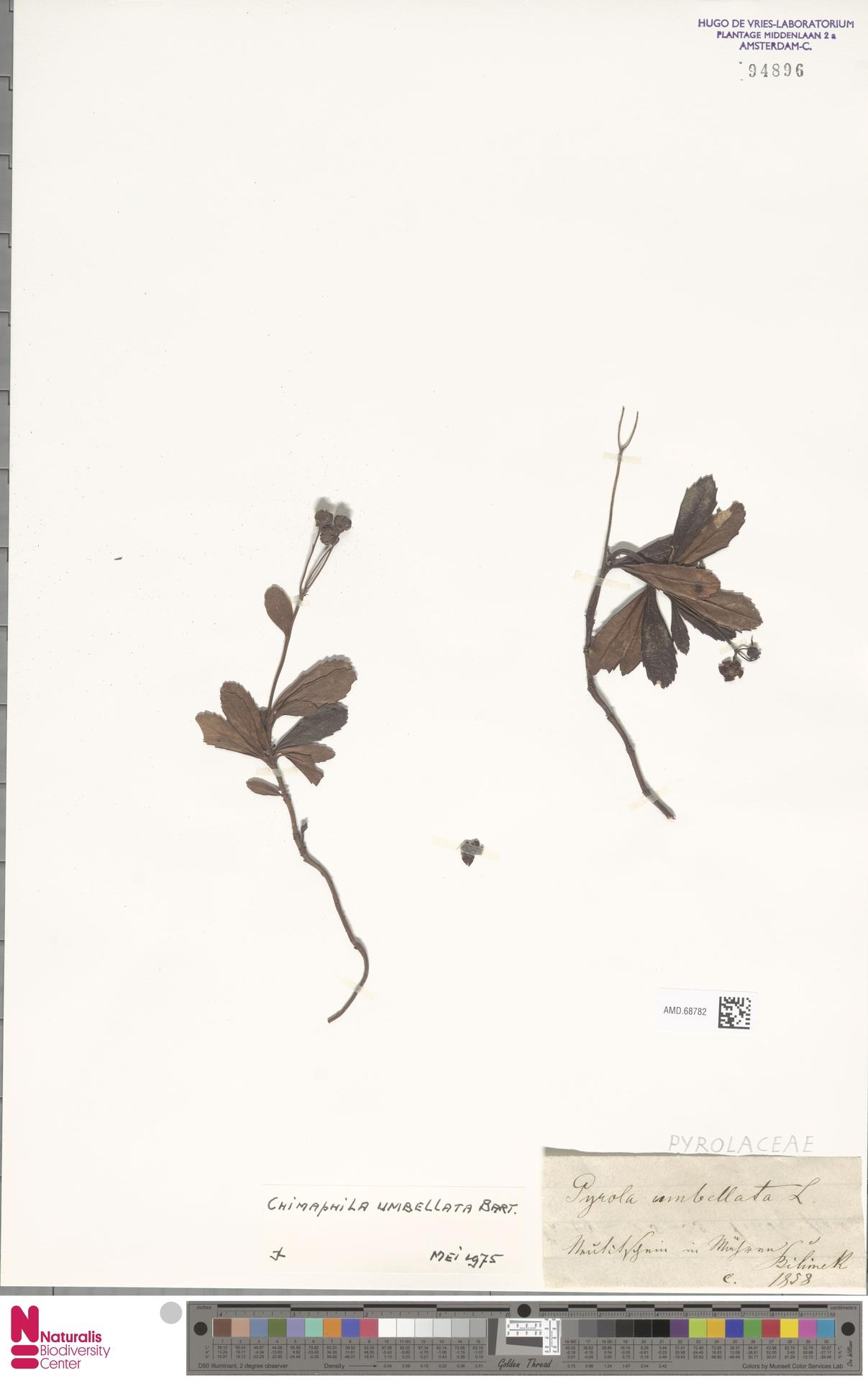 AMD.68782 | Chimaphila umbellata (L.) W.C.Barton