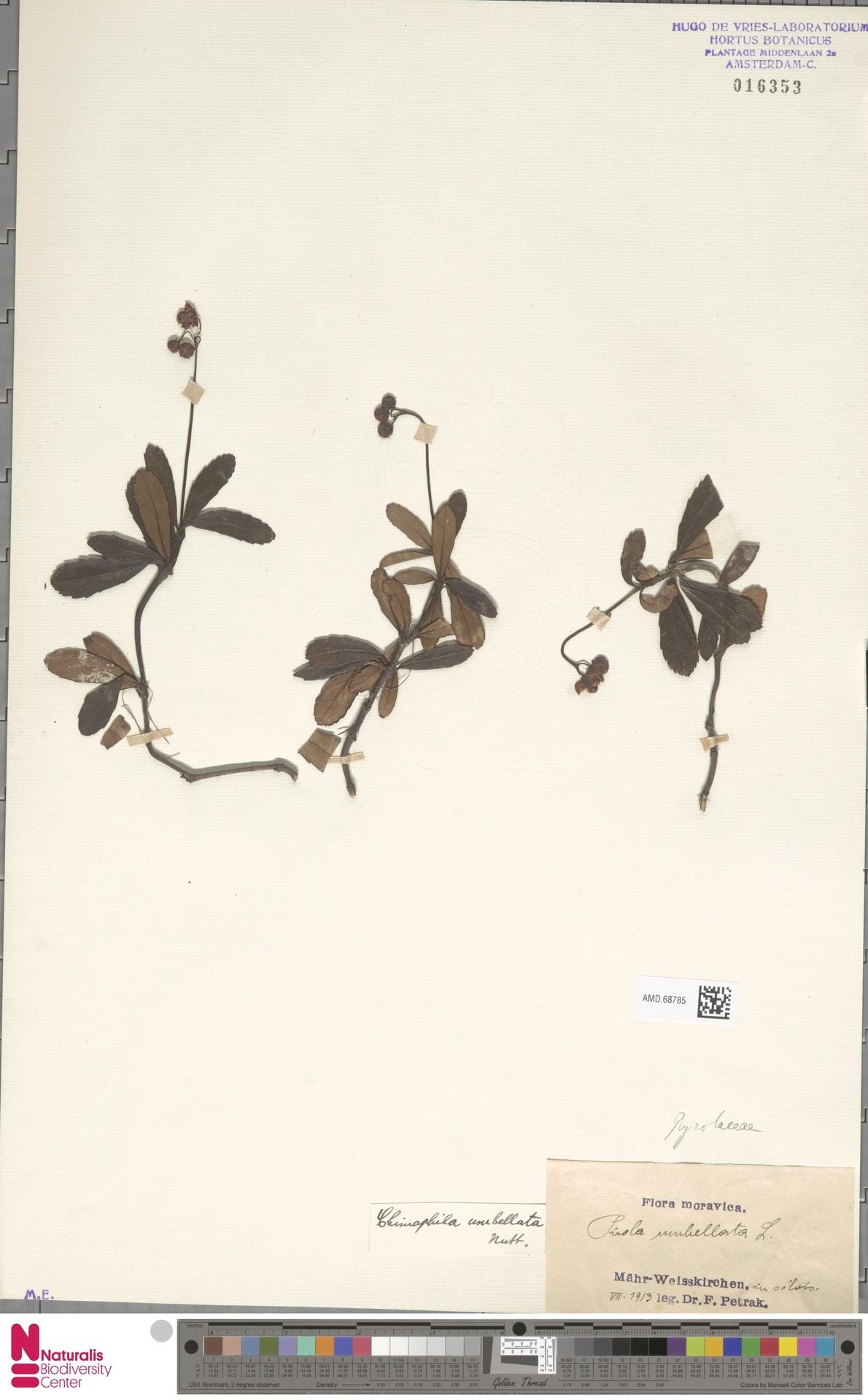 AMD.68785   Chimaphila umbellata (L.) W.C.Barton