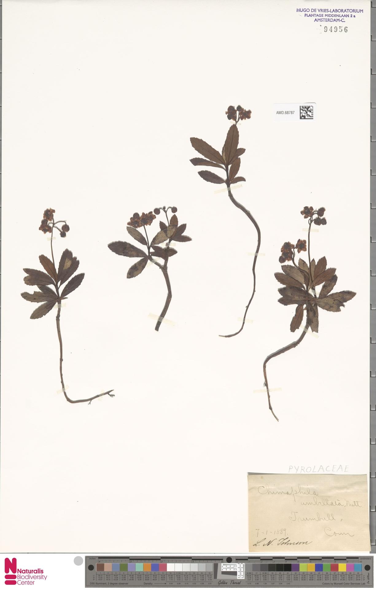 AMD.68787   Chimaphila umbellata (L.) W.C.Barton