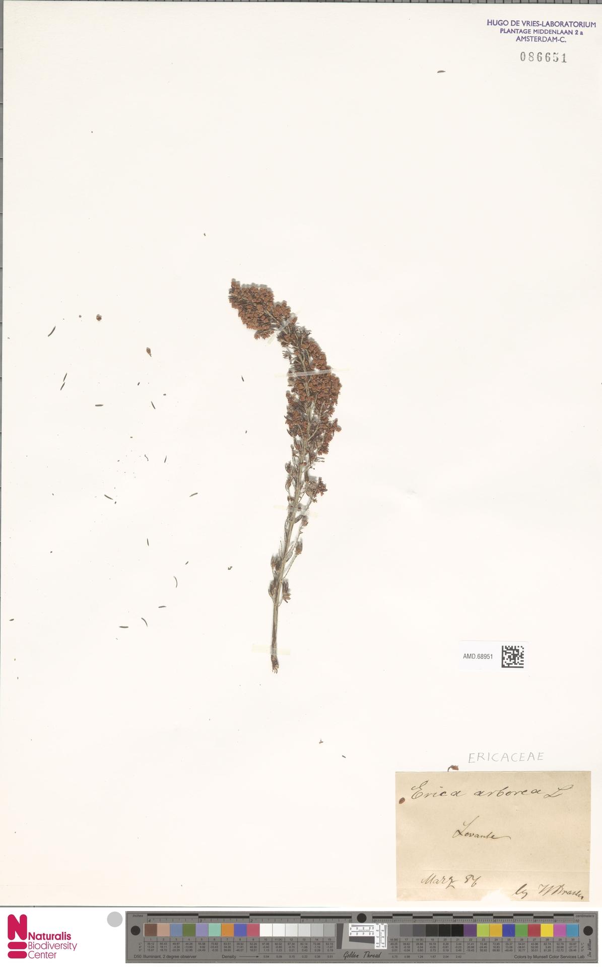 AMD.68951 | Erica arborea L.