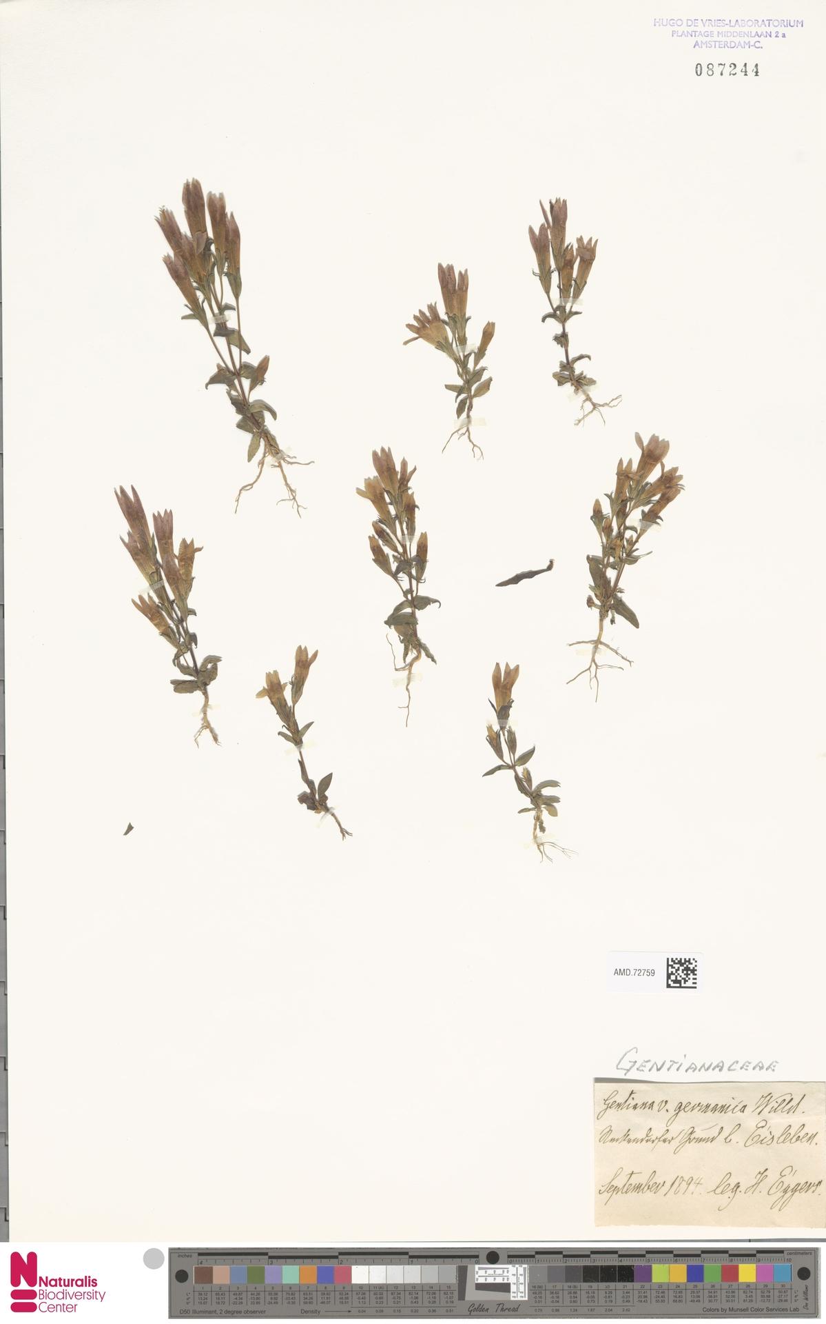 AMD.72759 | Gentianella germanica (Willd.) E.F.Warb.