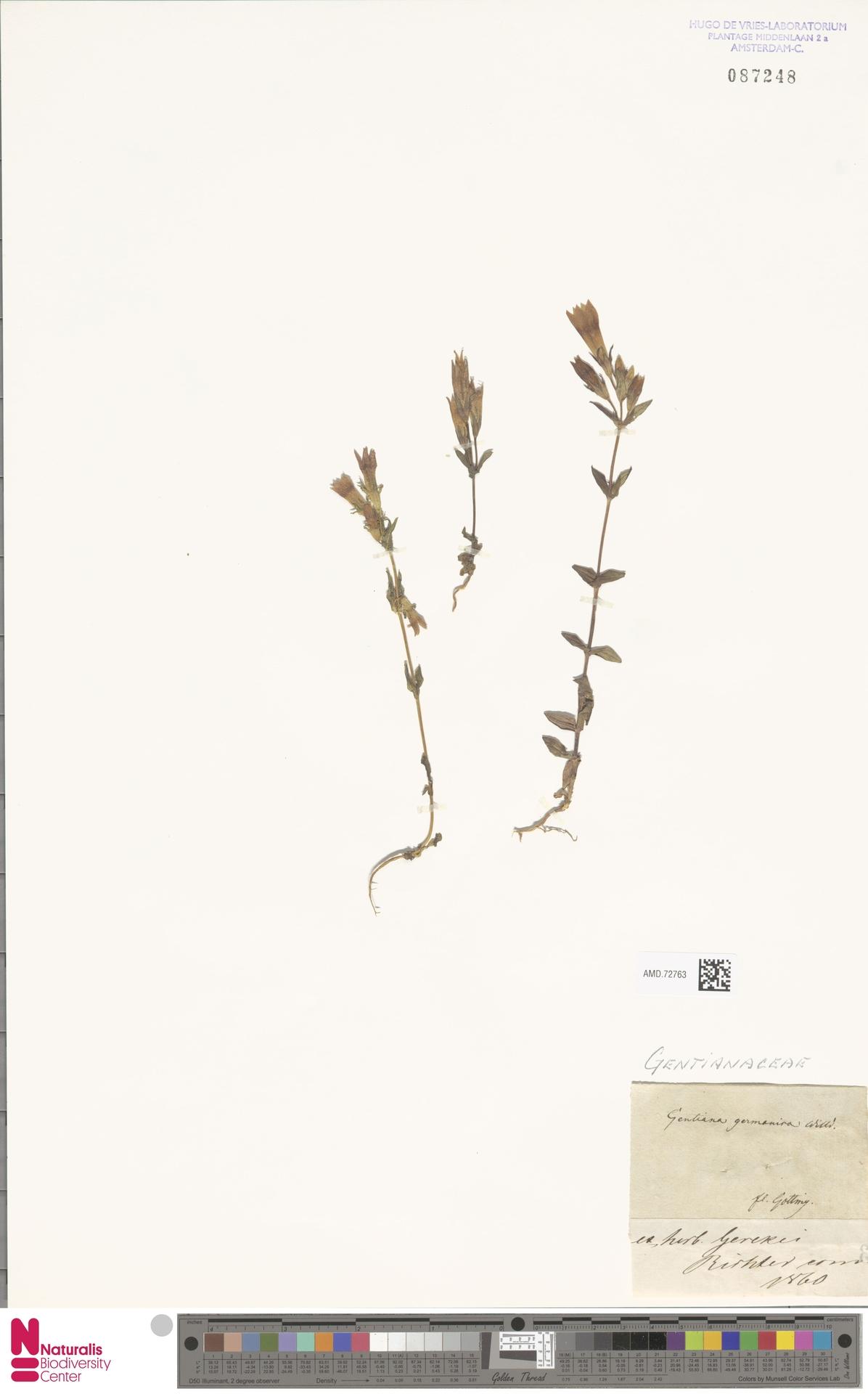 AMD.72763 | Gentianella germanica (Willd.) E.F.Warb.