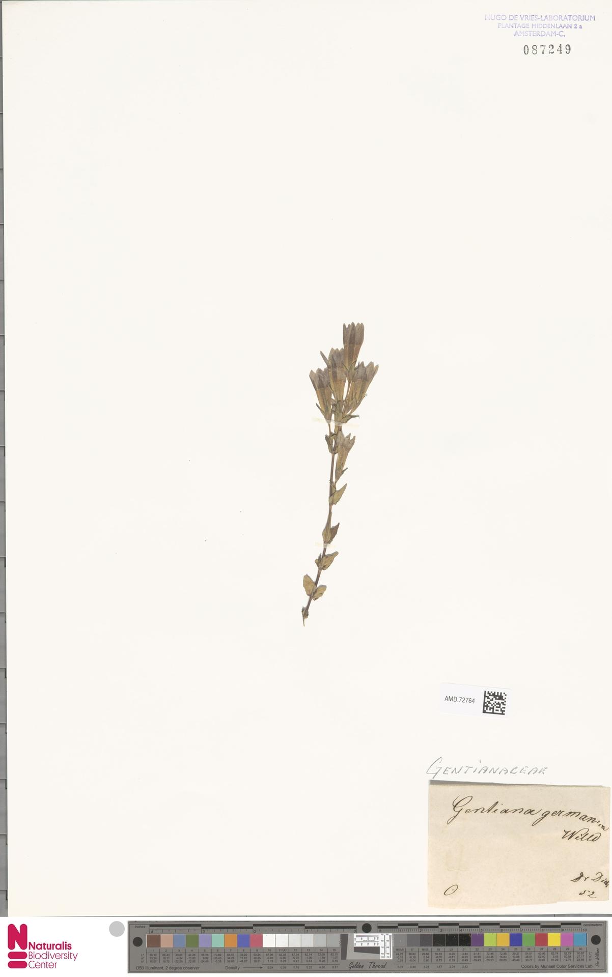 AMD.72764 | Gentianella germanica (Willd.) E.F.Warb.