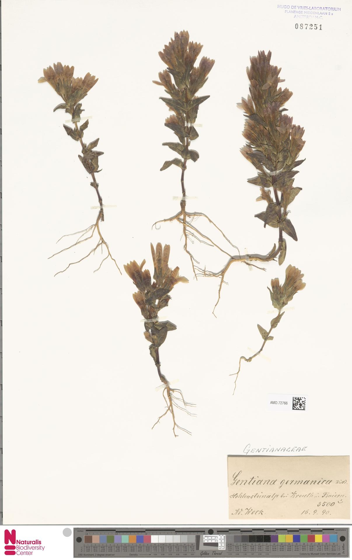 AMD.72766 | Gentianella germanica (Willd.) E.F.Warb.