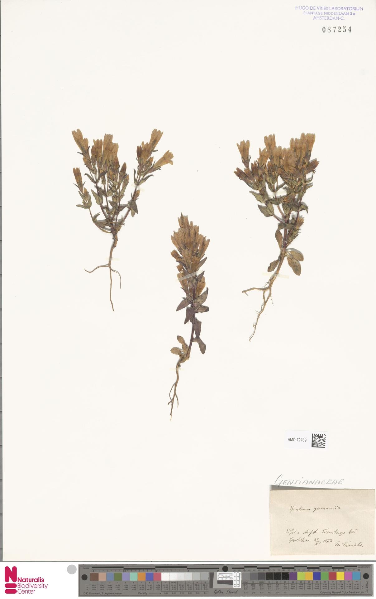 AMD.72769 | Gentianella germanica (Willd.) E.F.Warb.