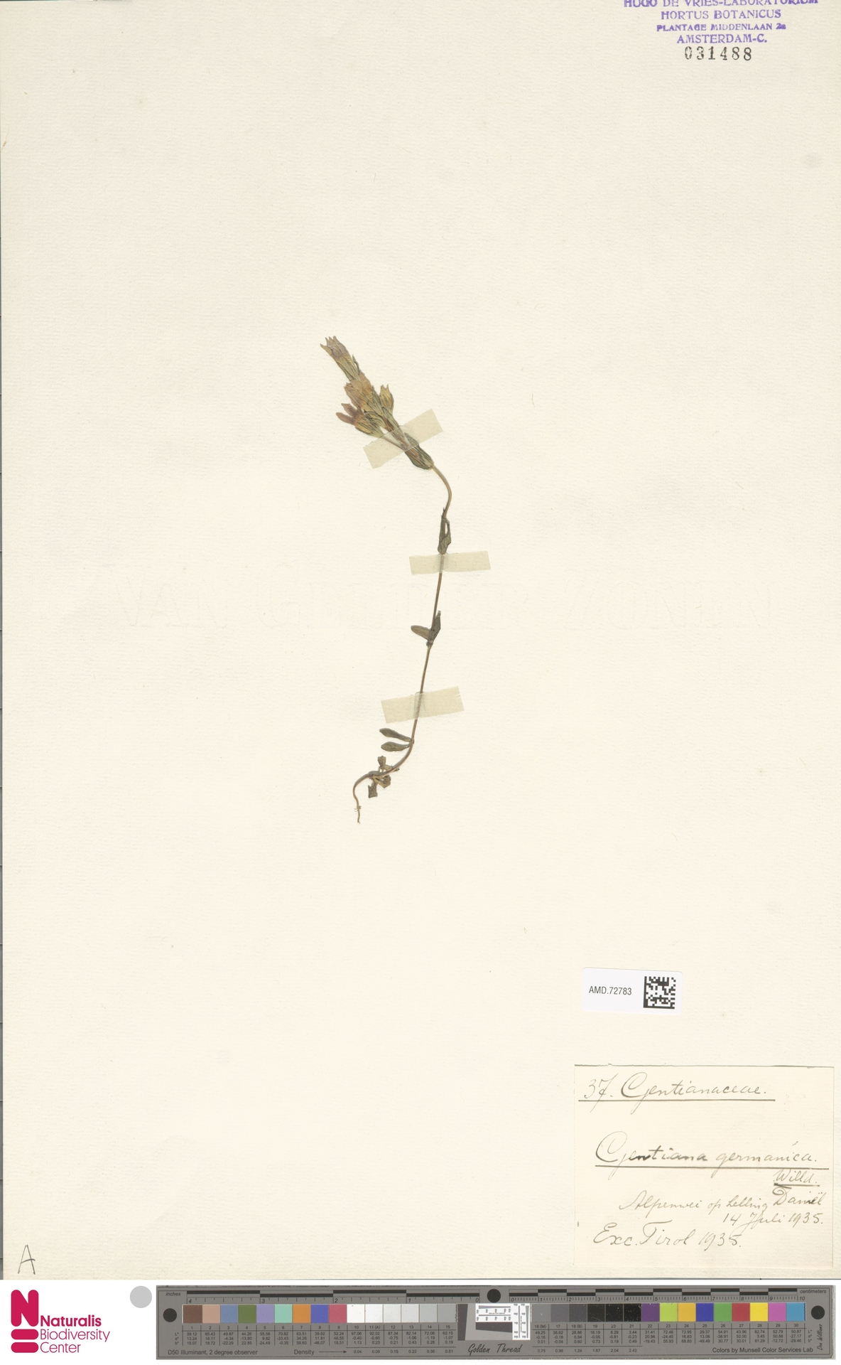 AMD.72783 | Gentianella germanica (Willd.) E.F.Warb.