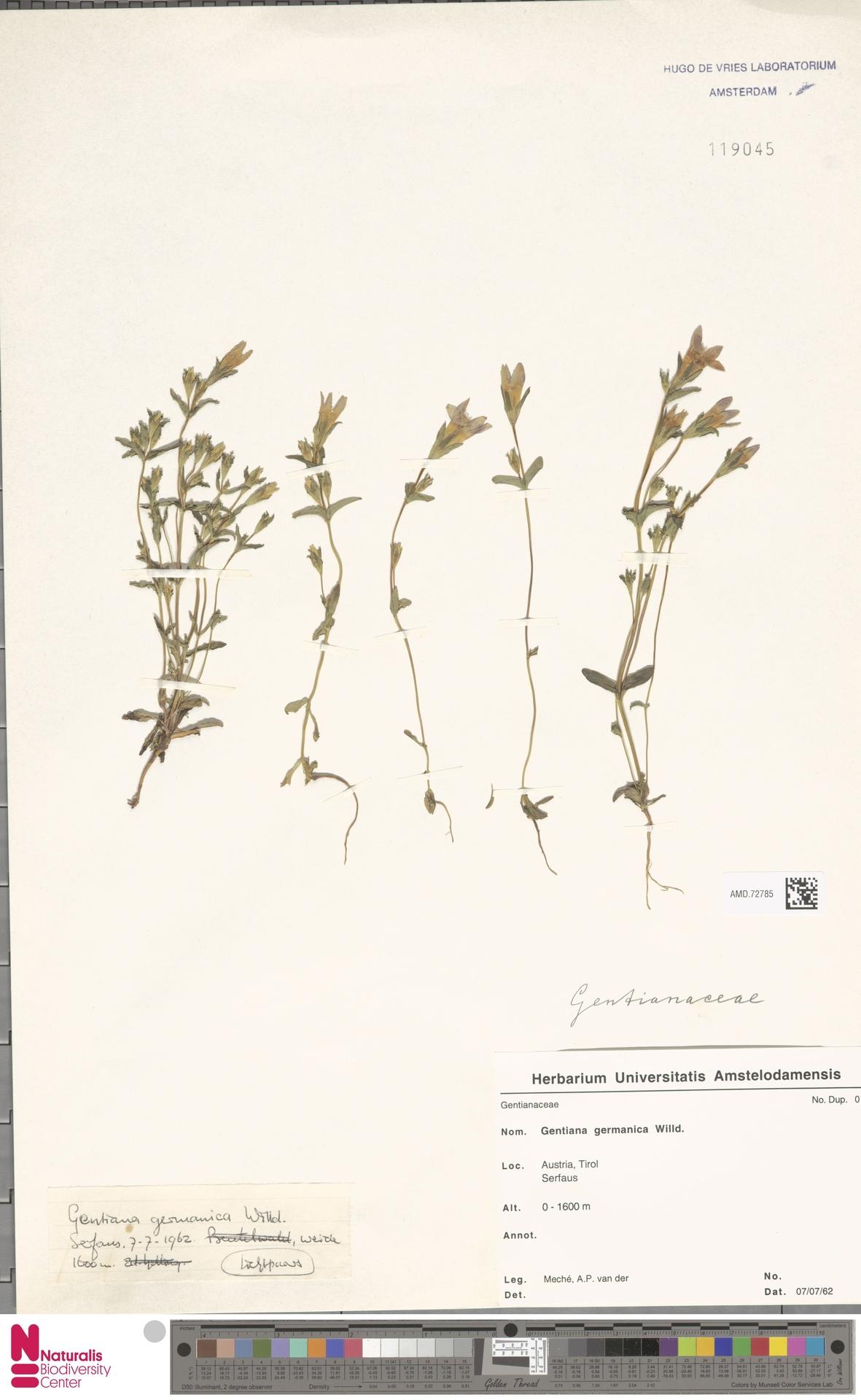 AMD.72785 | Gentianella germanica (Willd.) E.F.Warb.