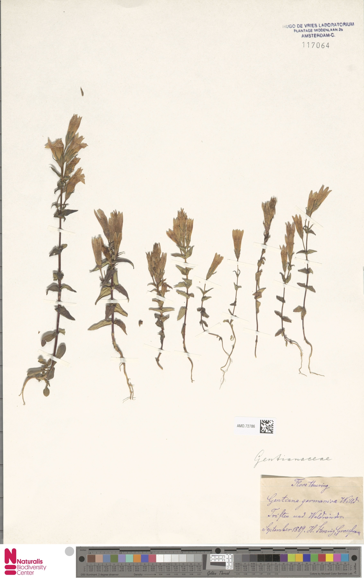 AMD.72786 | Gentianella germanica (Willd.) E.F.Warb.