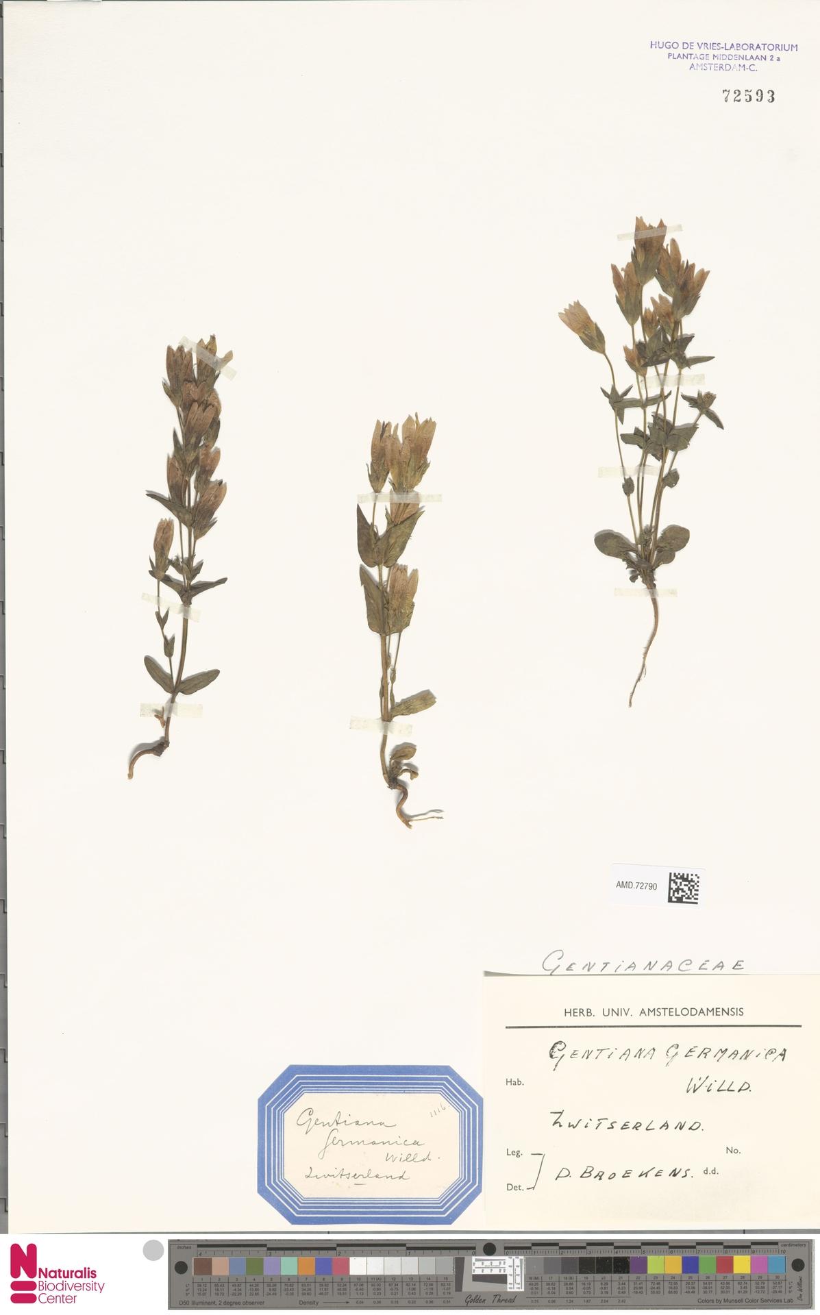 AMD.72790 | Gentianella germanica (Willd.) E.F.Warb.