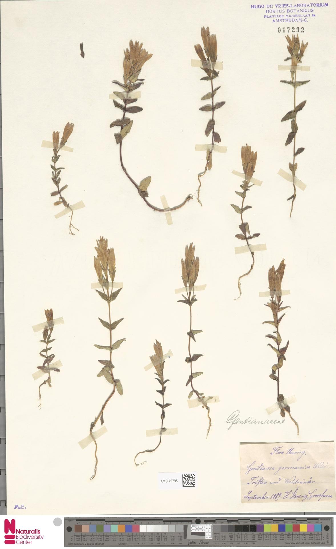 AMD.72795 | Gentianella germanica (Willd.) E.F.Warb.