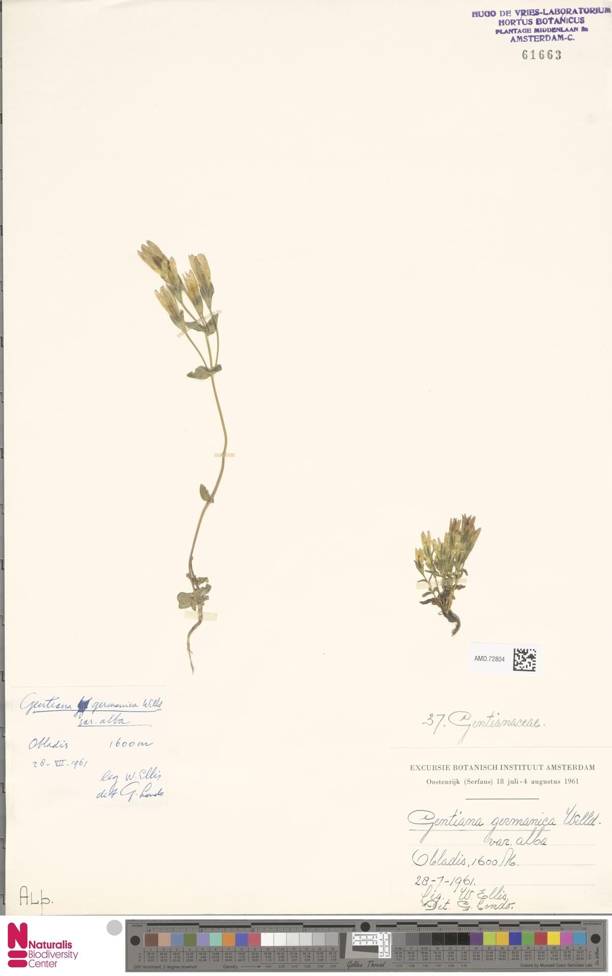 AMD.72804 | Gentianella germanica var. alba