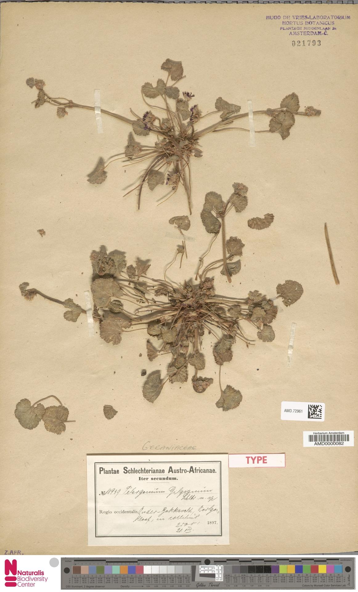 AMD.72961   Pelargonium gilgianum Schltr.