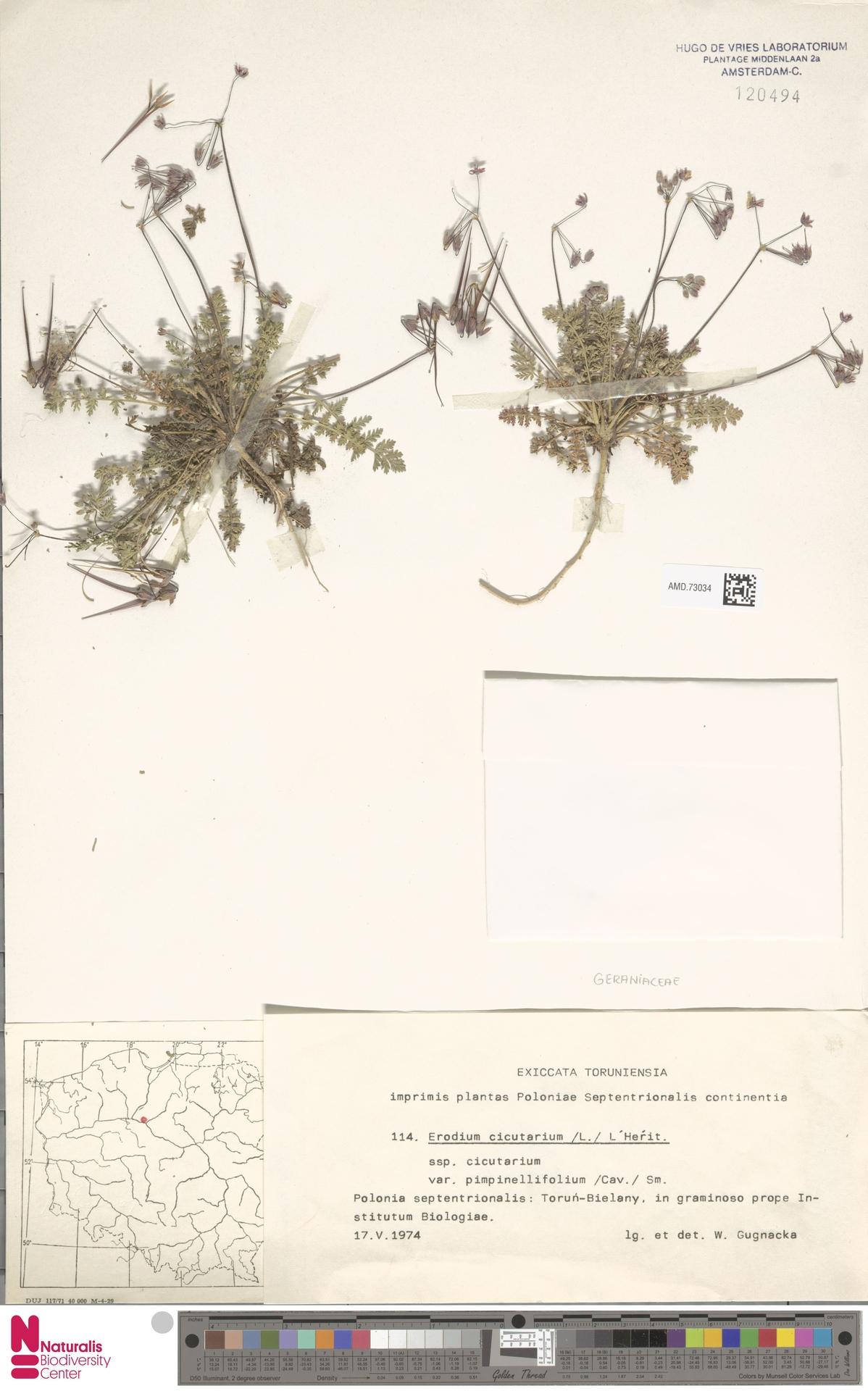 AMD.73034 | Erodium cicutarium (L.) L'Hér.