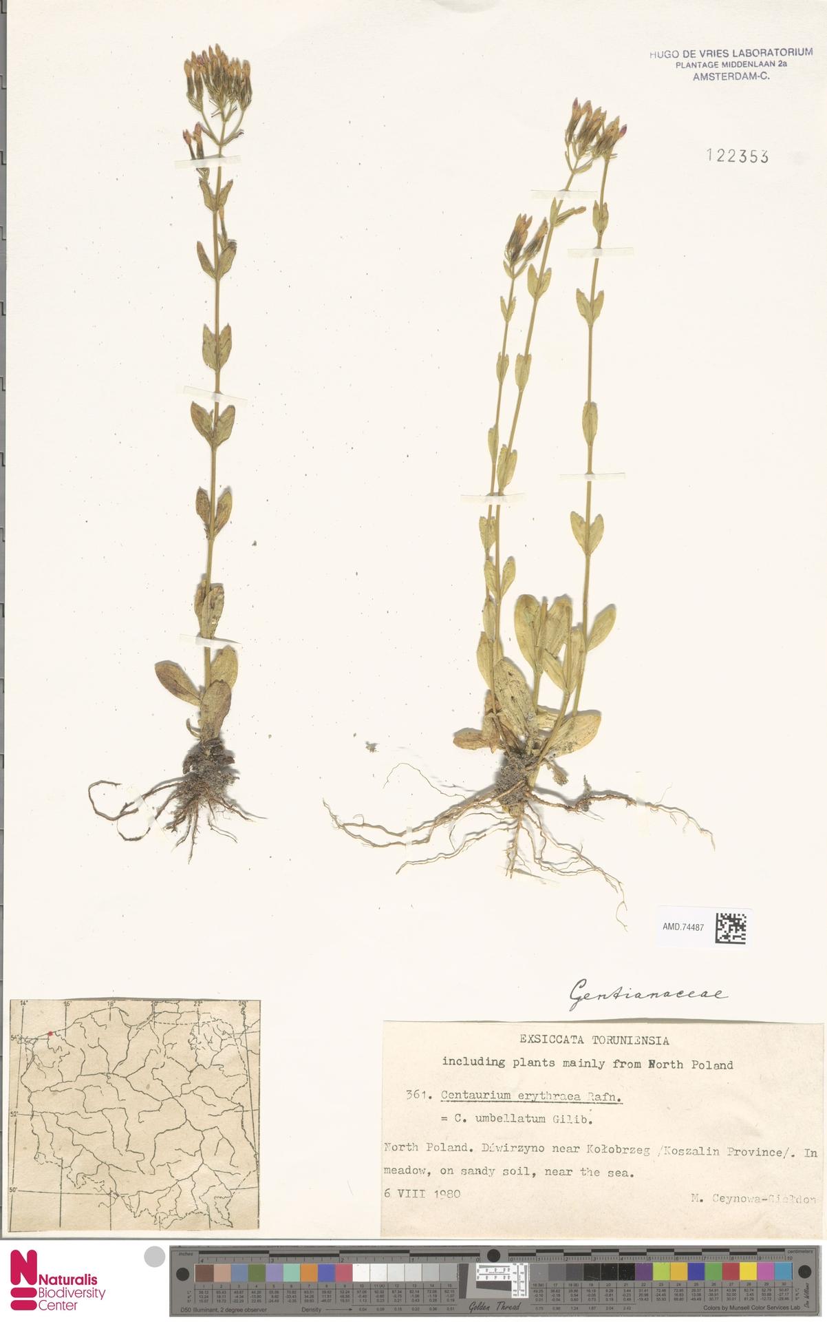 AMD.74487 | Centaurium umbellatum Gilib.