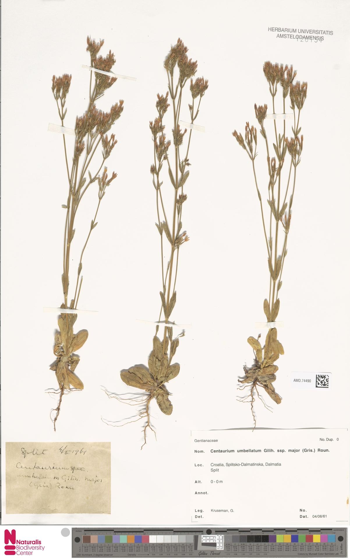AMD.74490 | Centaurium umbellatum subsp. major