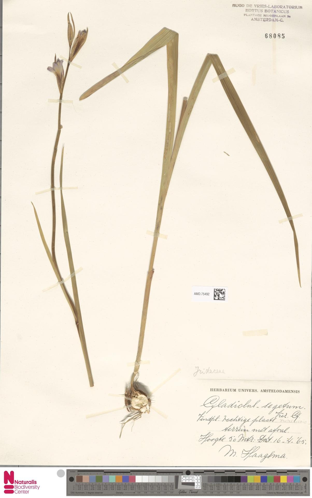 AMD.75492 | Gladiolus italicus Mill.