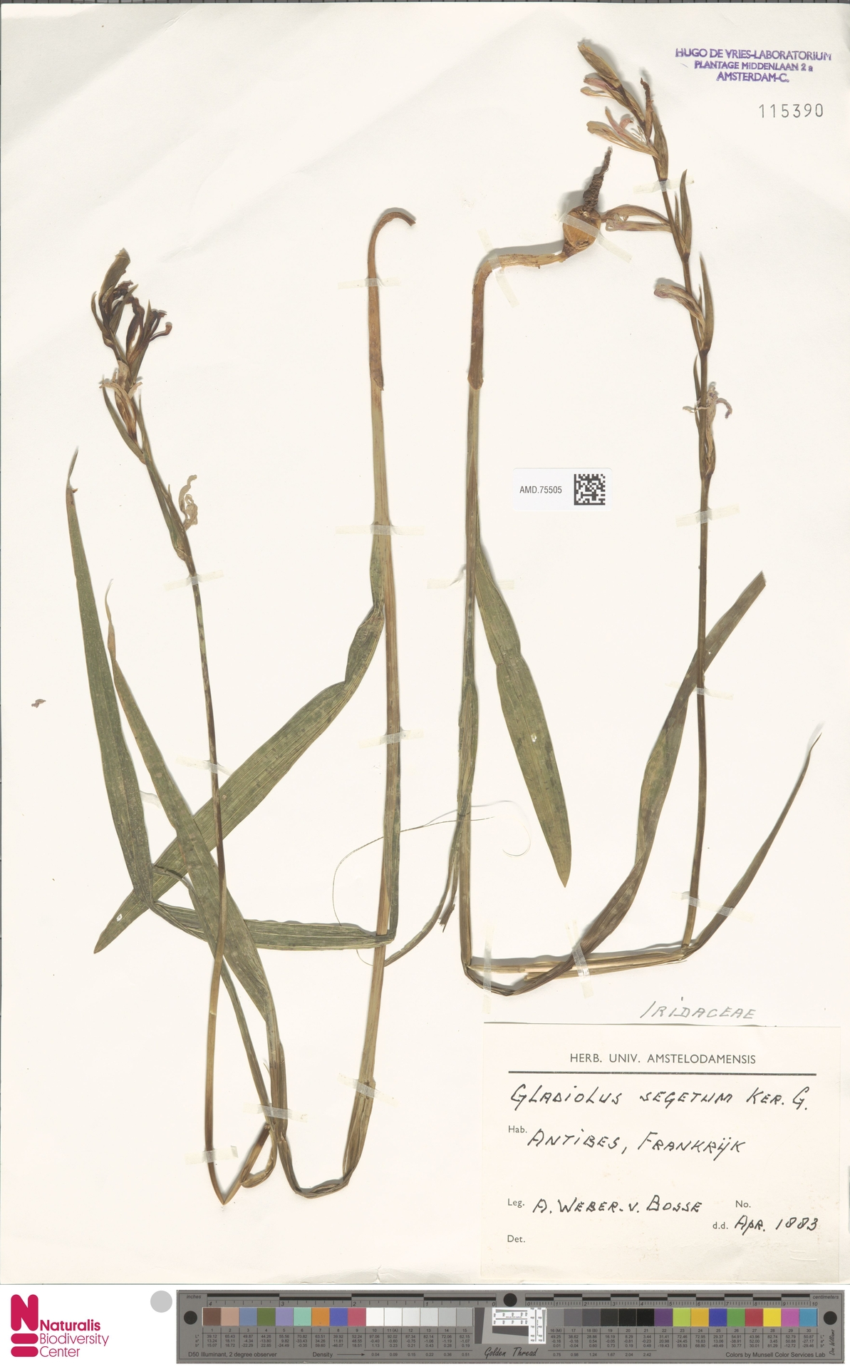 AMD.75505 | Gladiolus italicus Mill.