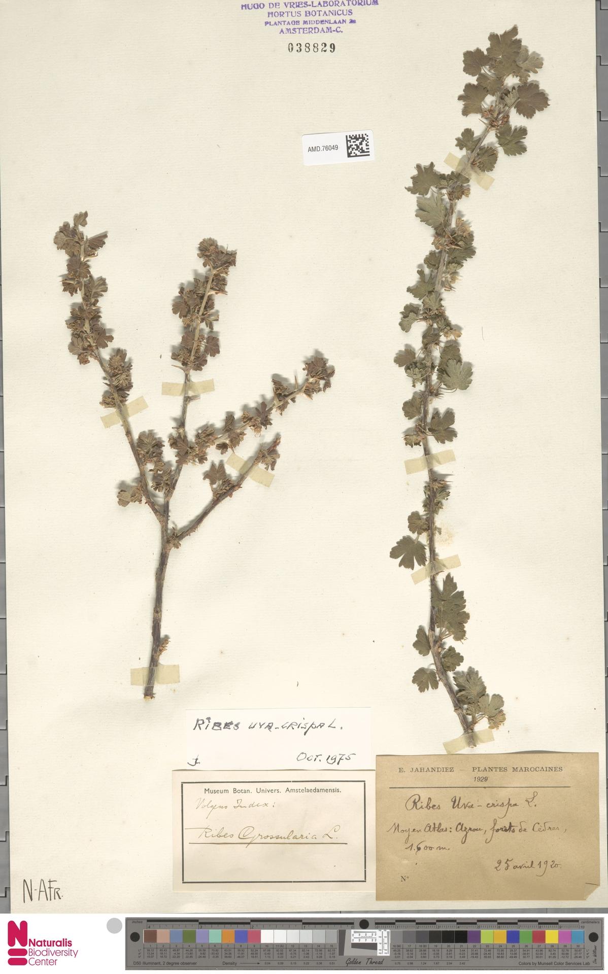 AMD.76049 | Ribes uva-crispa L.