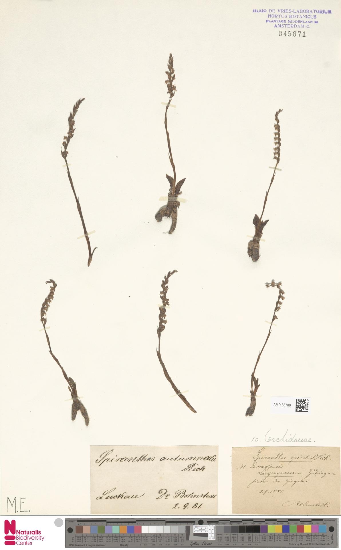AMD.83788 | Spiranthes spiralis (L.) Chevall.