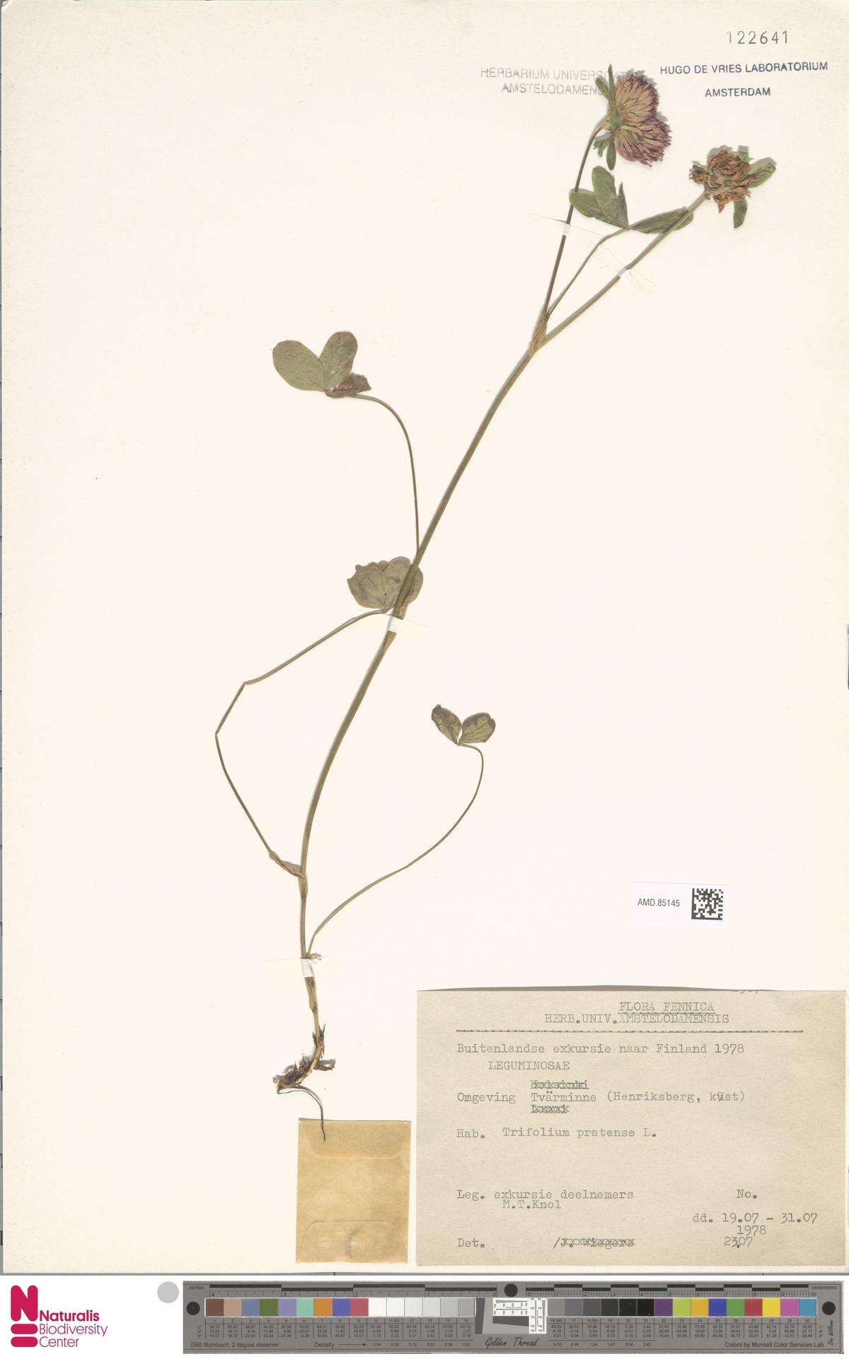 AMD.85145 | Trifolium pratense L.