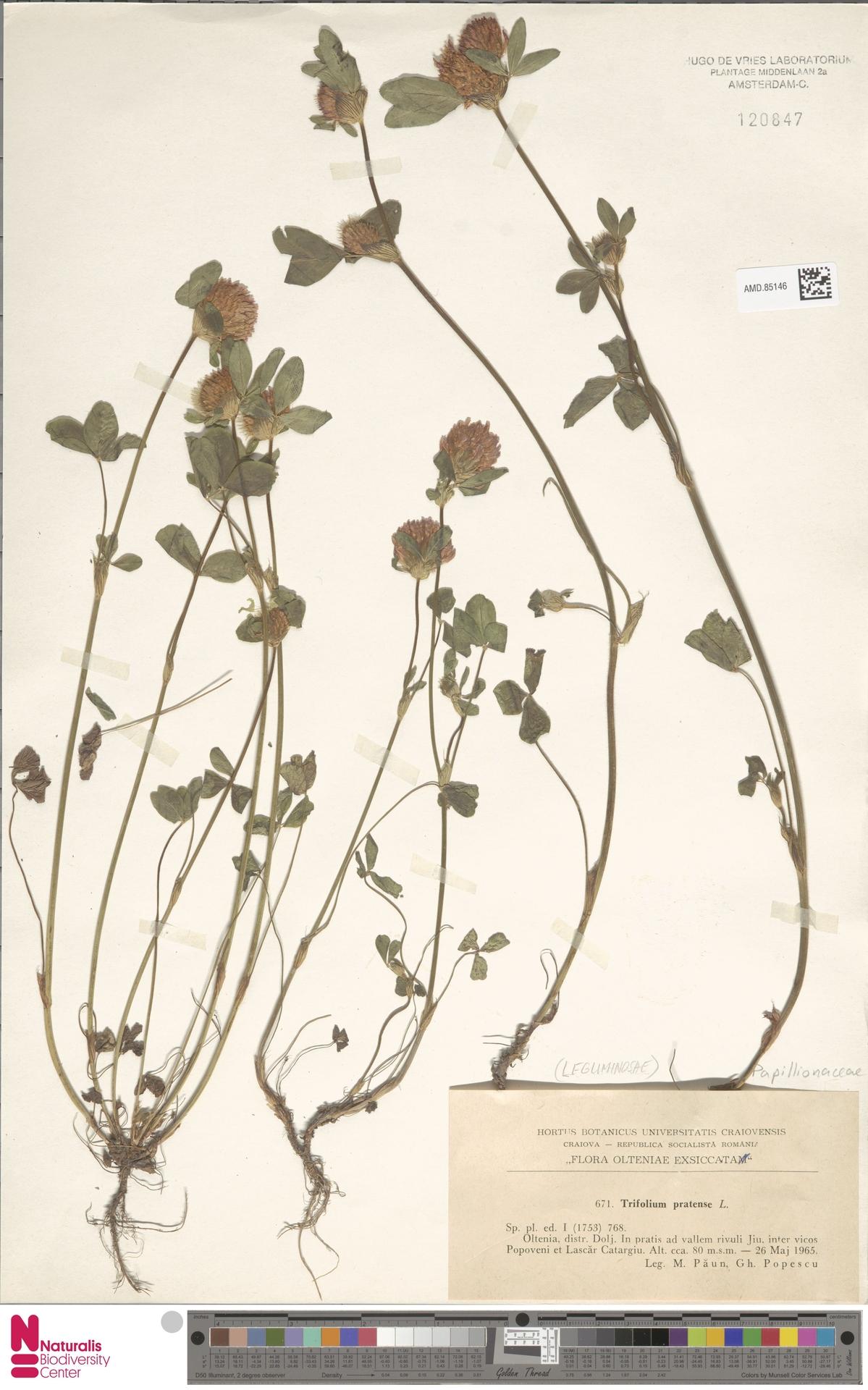 AMD.85146 | Trifolium pratense L.