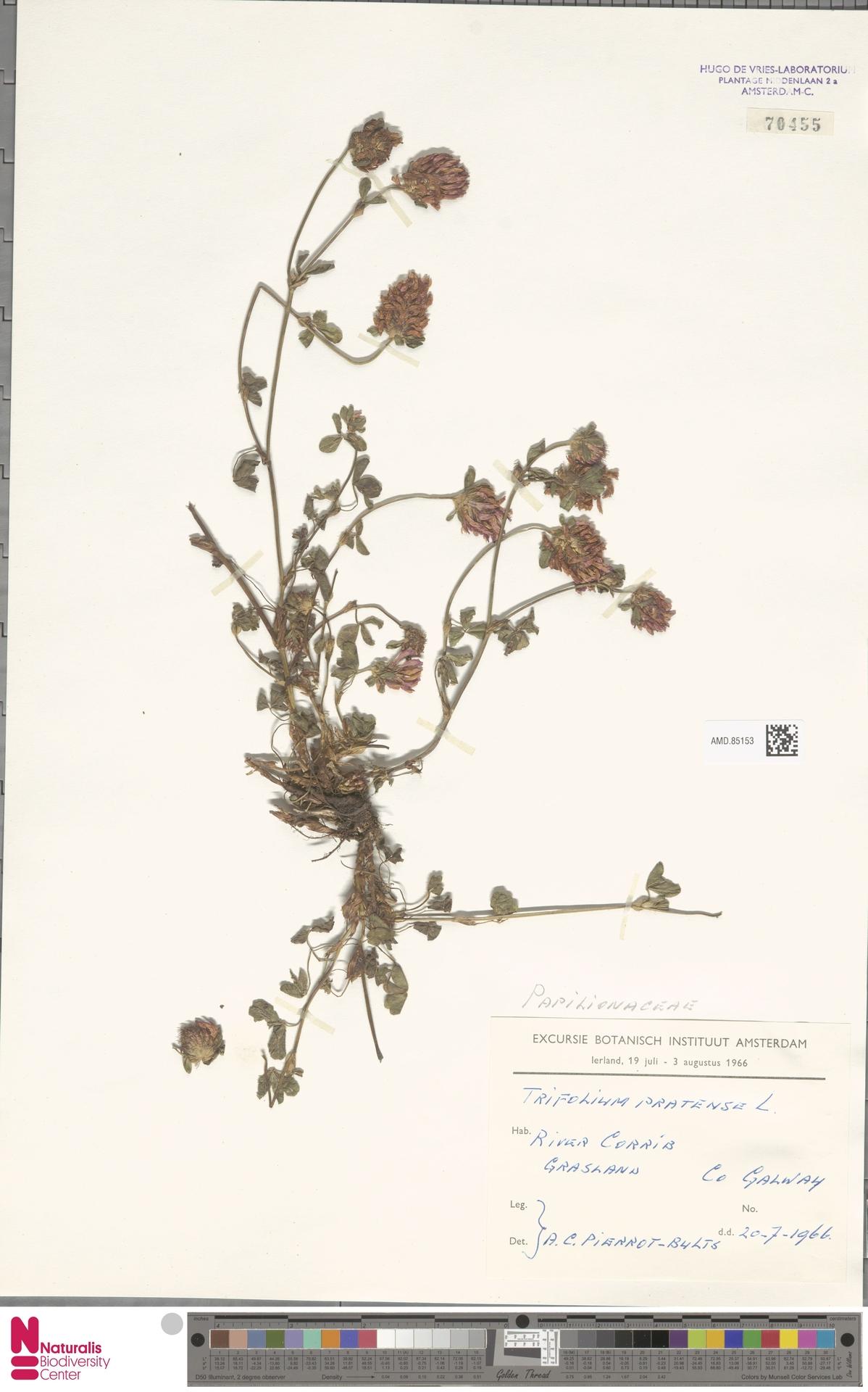 AMD.85153 | Trifolium pratense L.