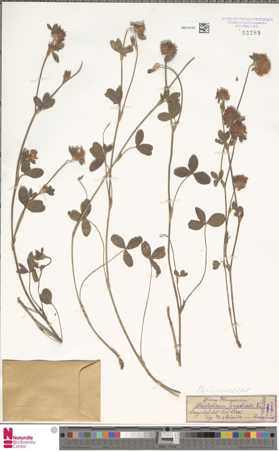 AMD.85162 | Trifolium pratense L.