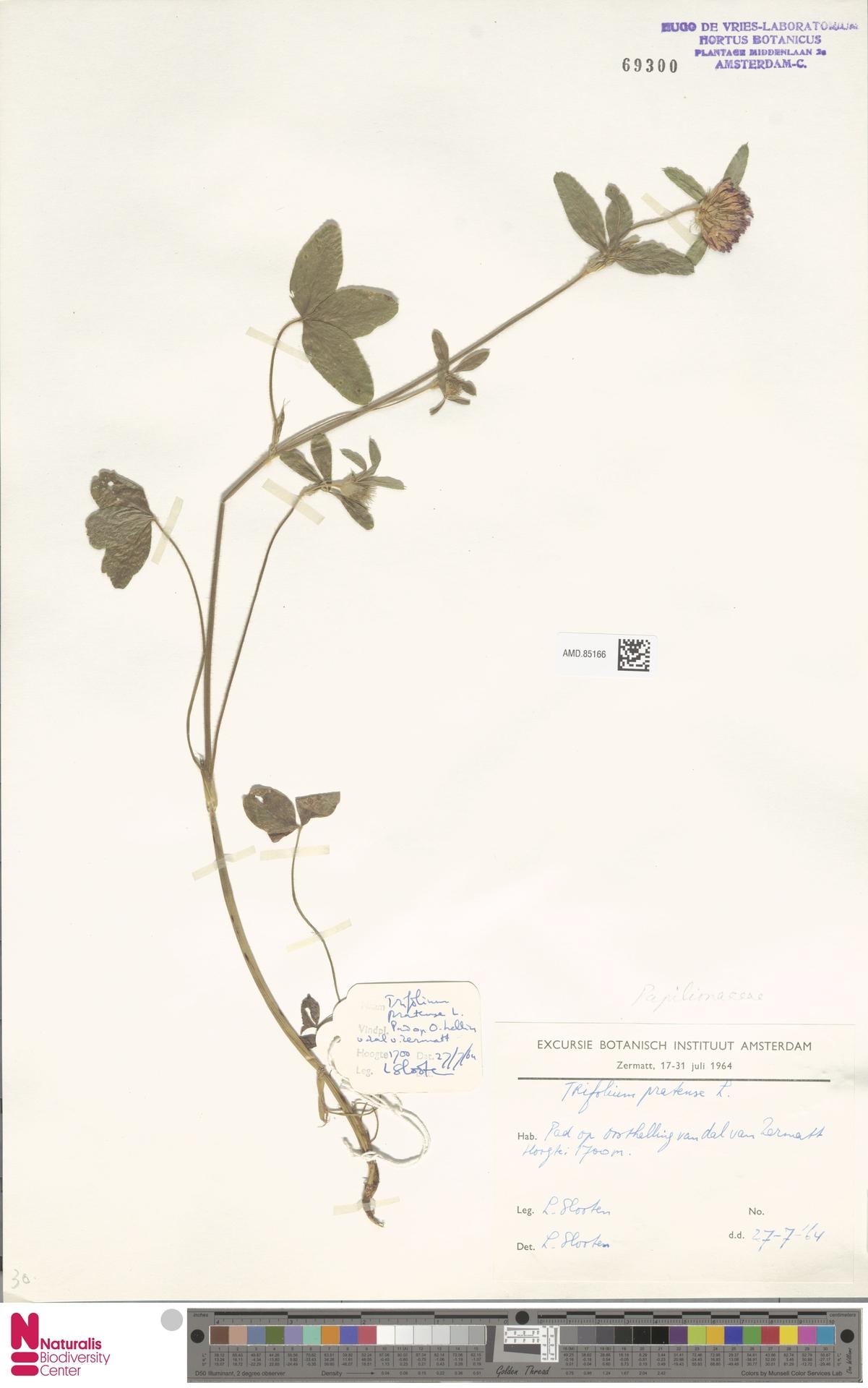 AMD.85166 | Trifolium pratense L.