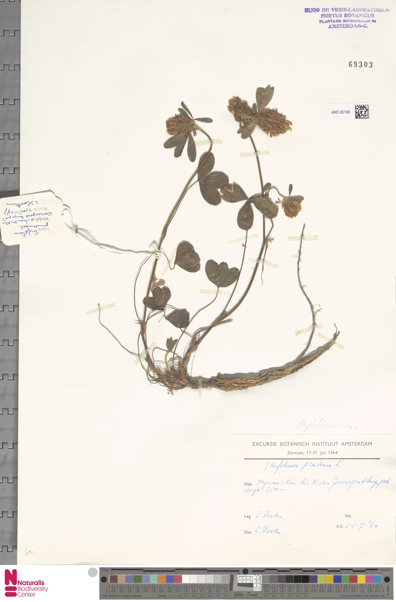 AMD.85169 | Trifolium pratense L.