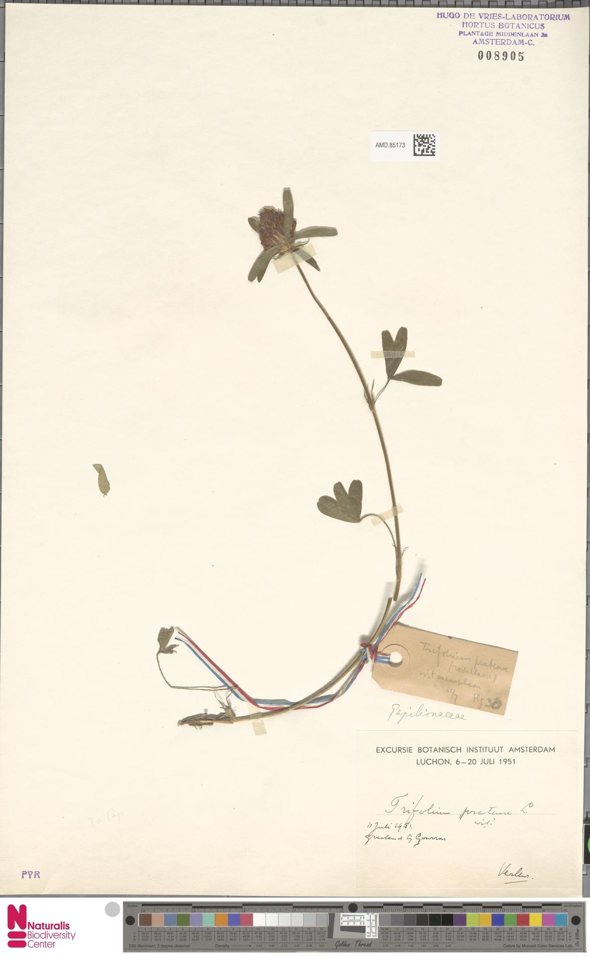 AMD.85173   Trifolium pratense L.