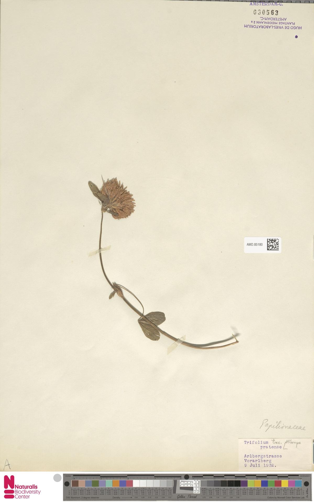 AMD.85180 | Trifolium pratense L.