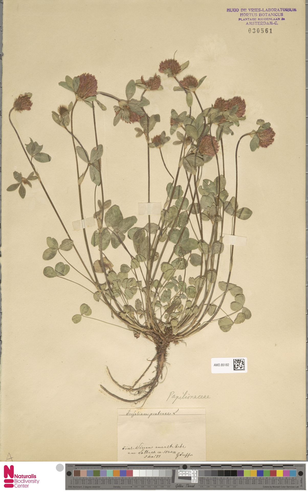 AMD.85182   Trifolium pratense L.