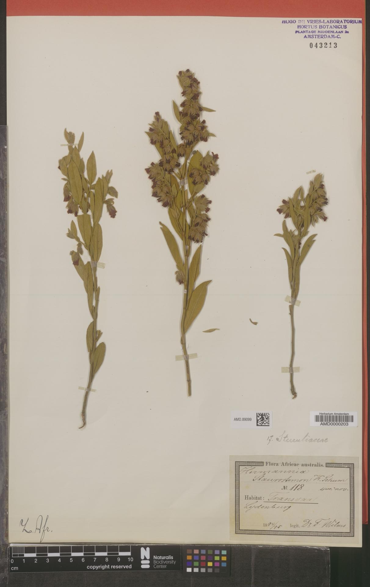 AMD.89099 | Hermannia staurostemon K.Schum.