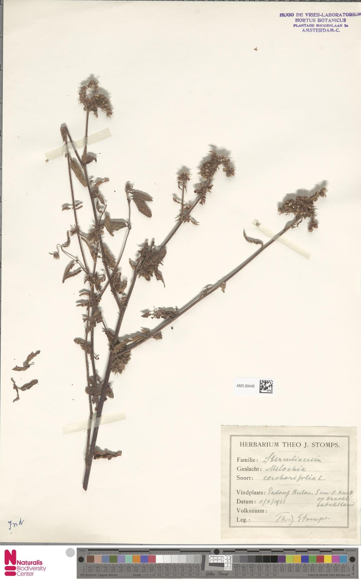 AMD.89448 | Melochia corchorifolia L.