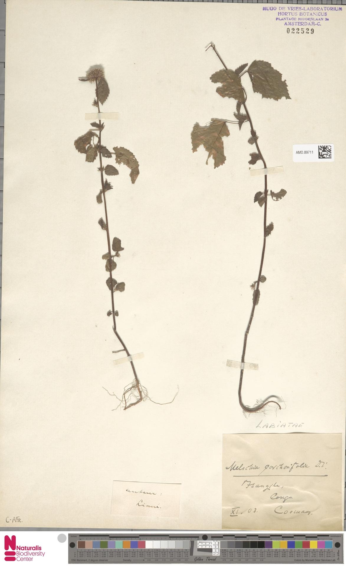 AMD.89711 | Melochia corchorifolia L.