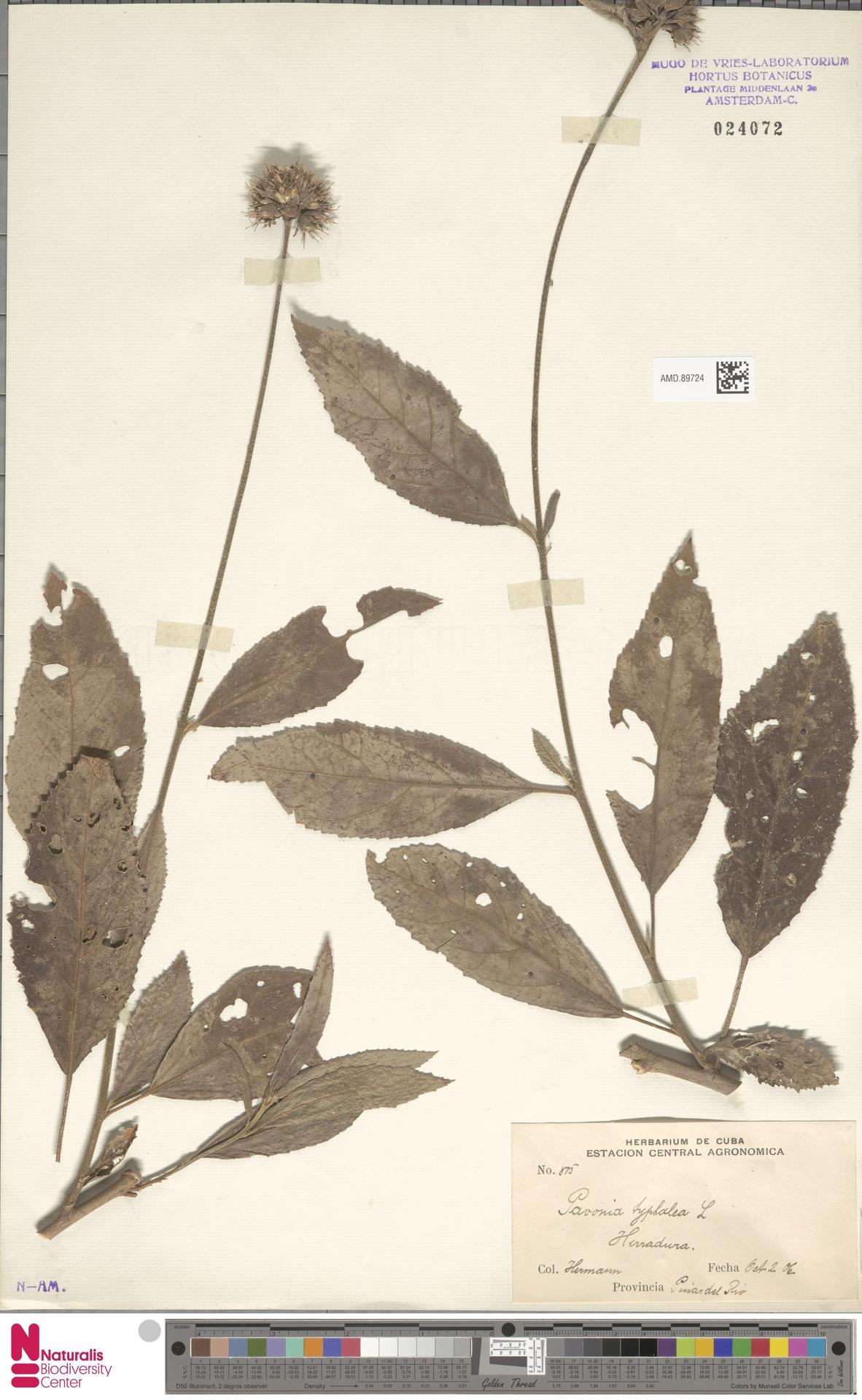 AMD.89724 | Pavonia typhalaea (L.) Cav.