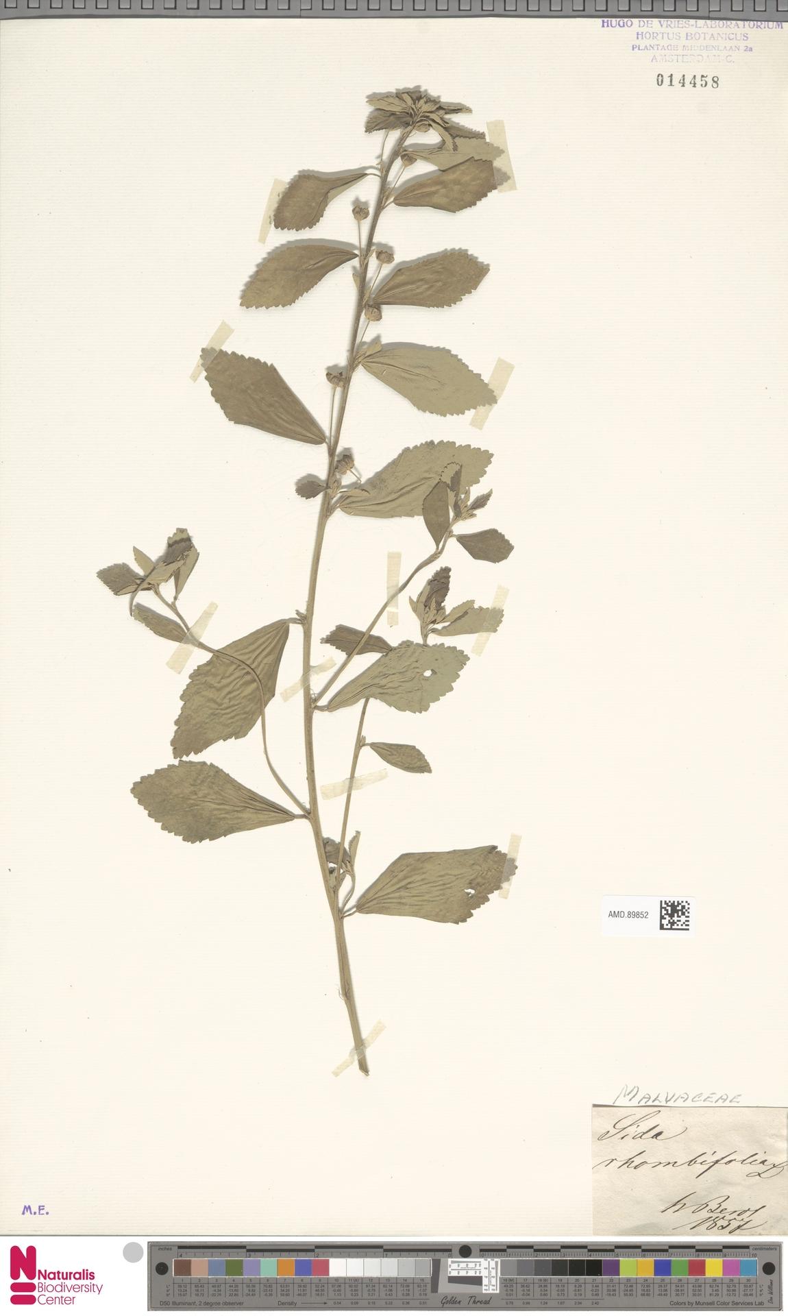 AMD.89852   Sida rhombifolia L.