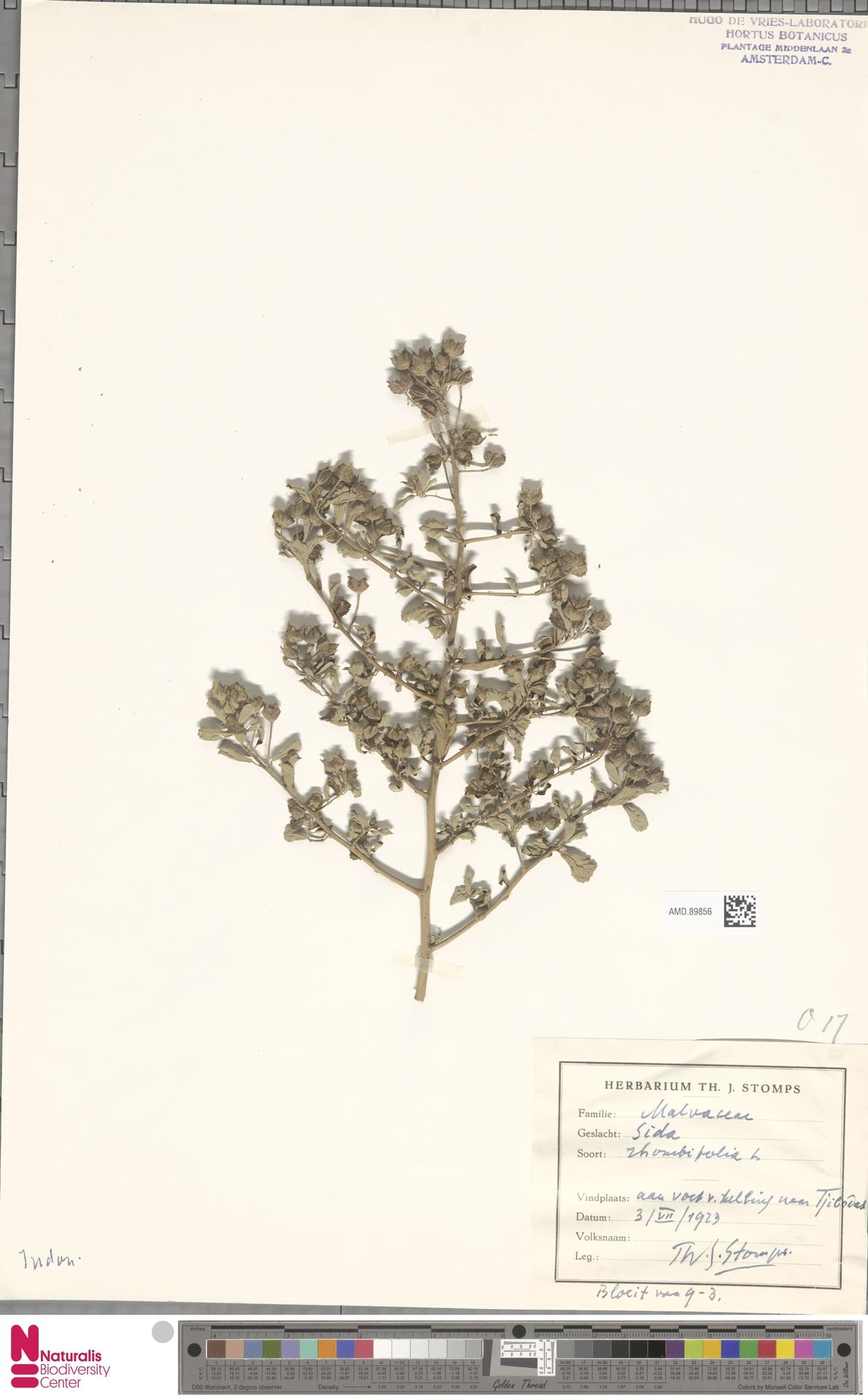 AMD.89856 | Sida rhombifolia L.