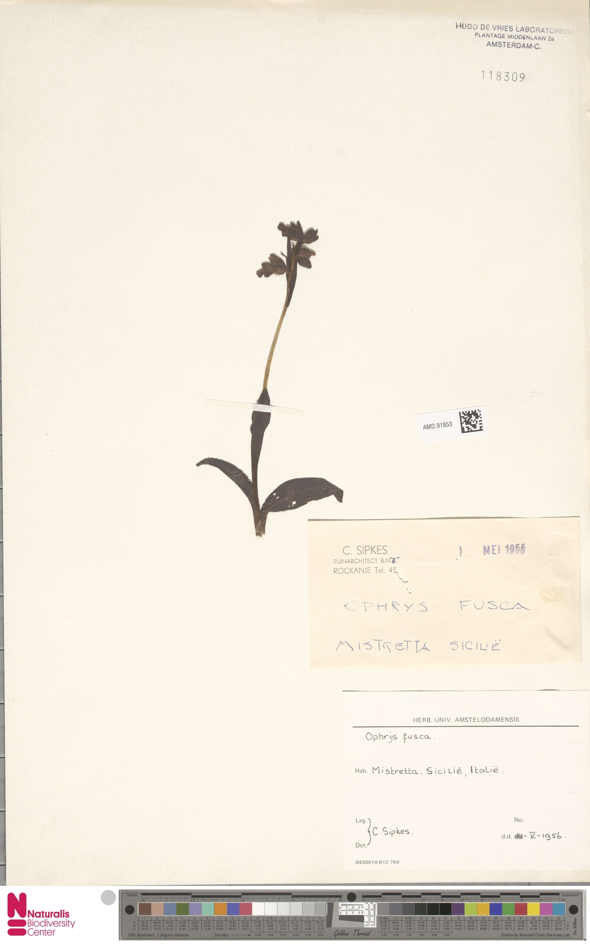 AMD.91853 | Ophrys fusca Link