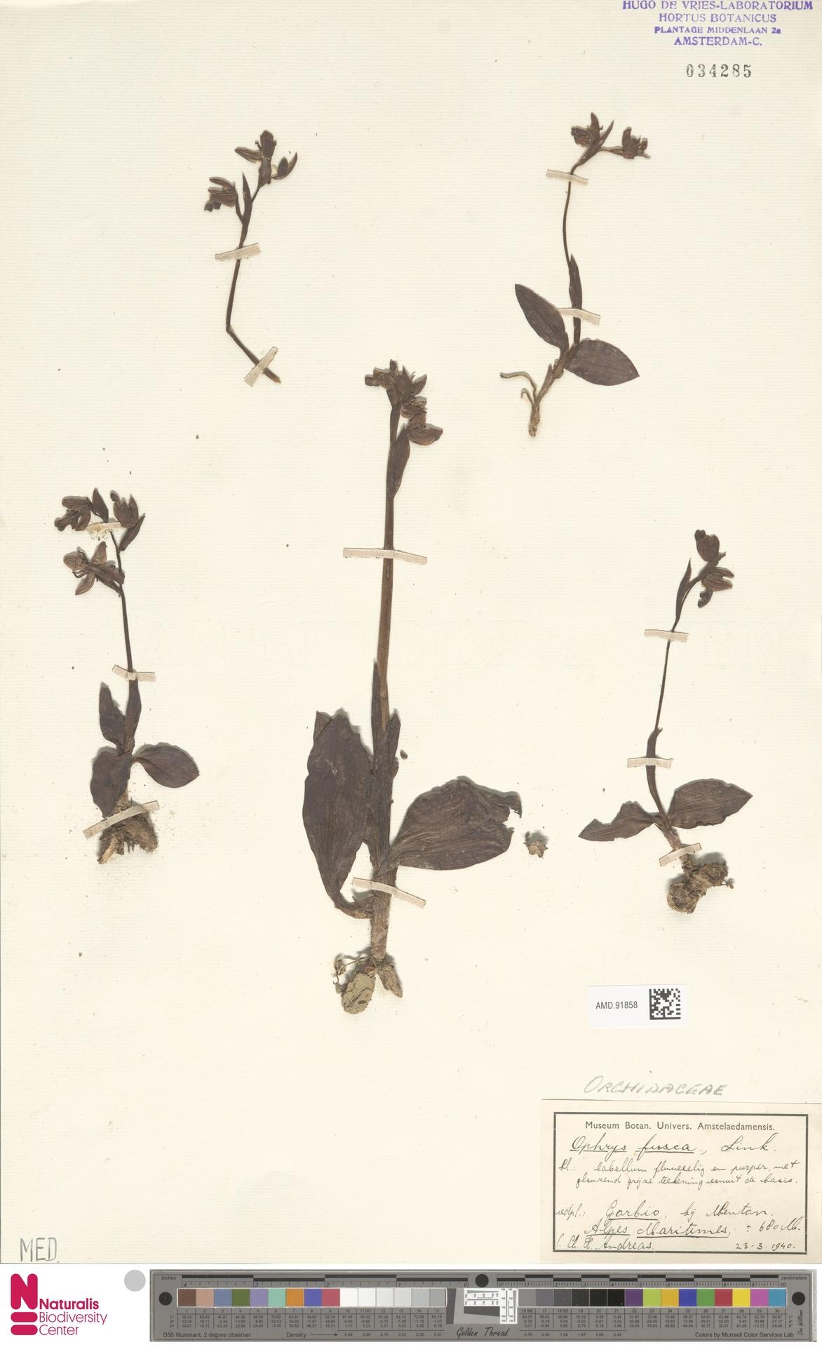 AMD.91858 | Ophrys fusca Link