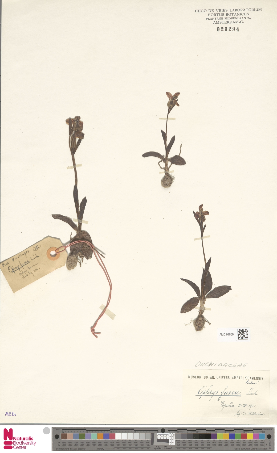 AMD.91859   Ophrys fusca Link