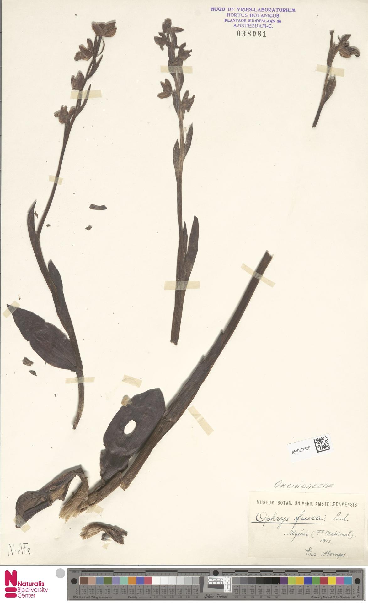 AMD.91860 | Ophrys fusca Link