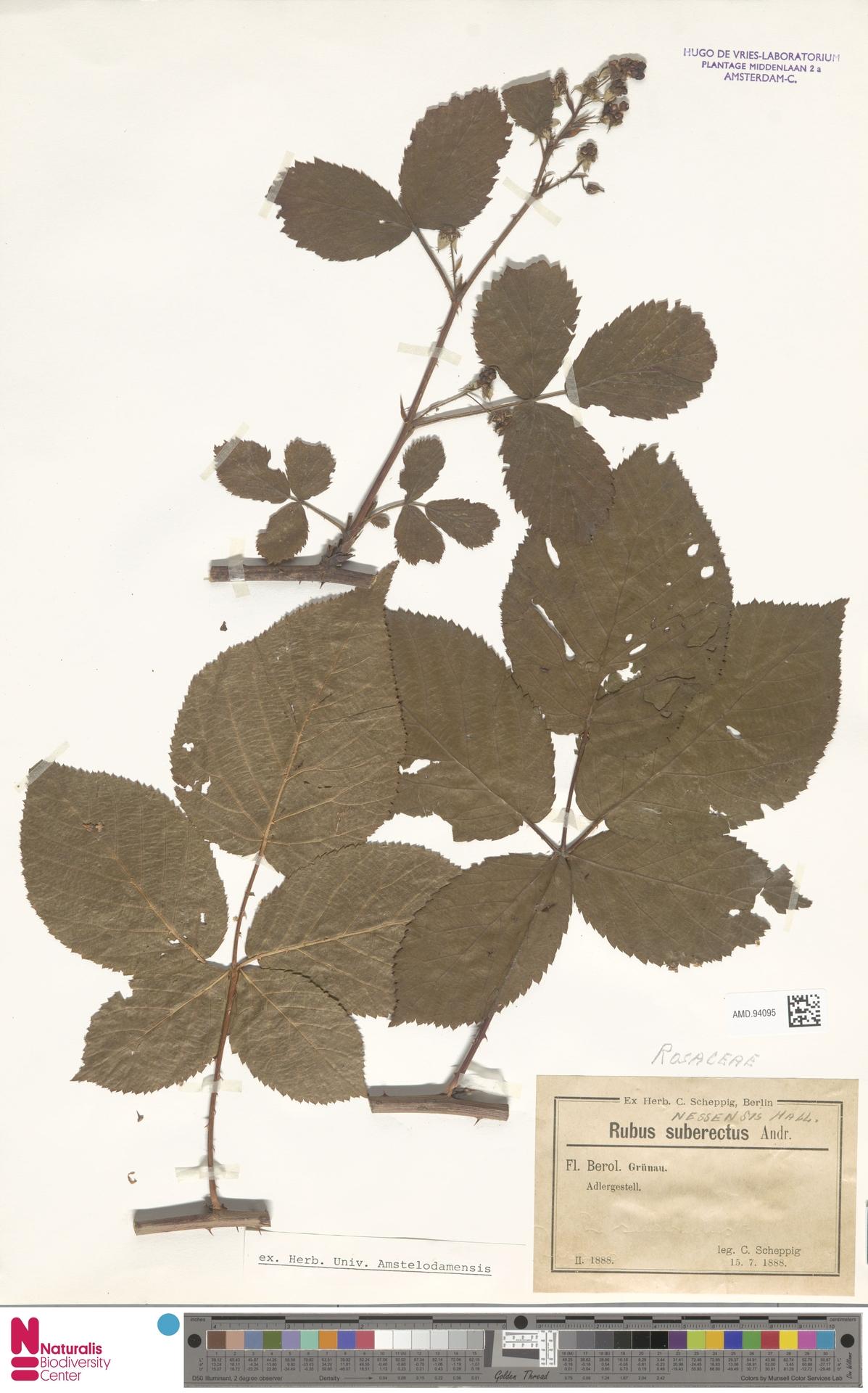 AMD.94095 | Rubus nessensis Hall