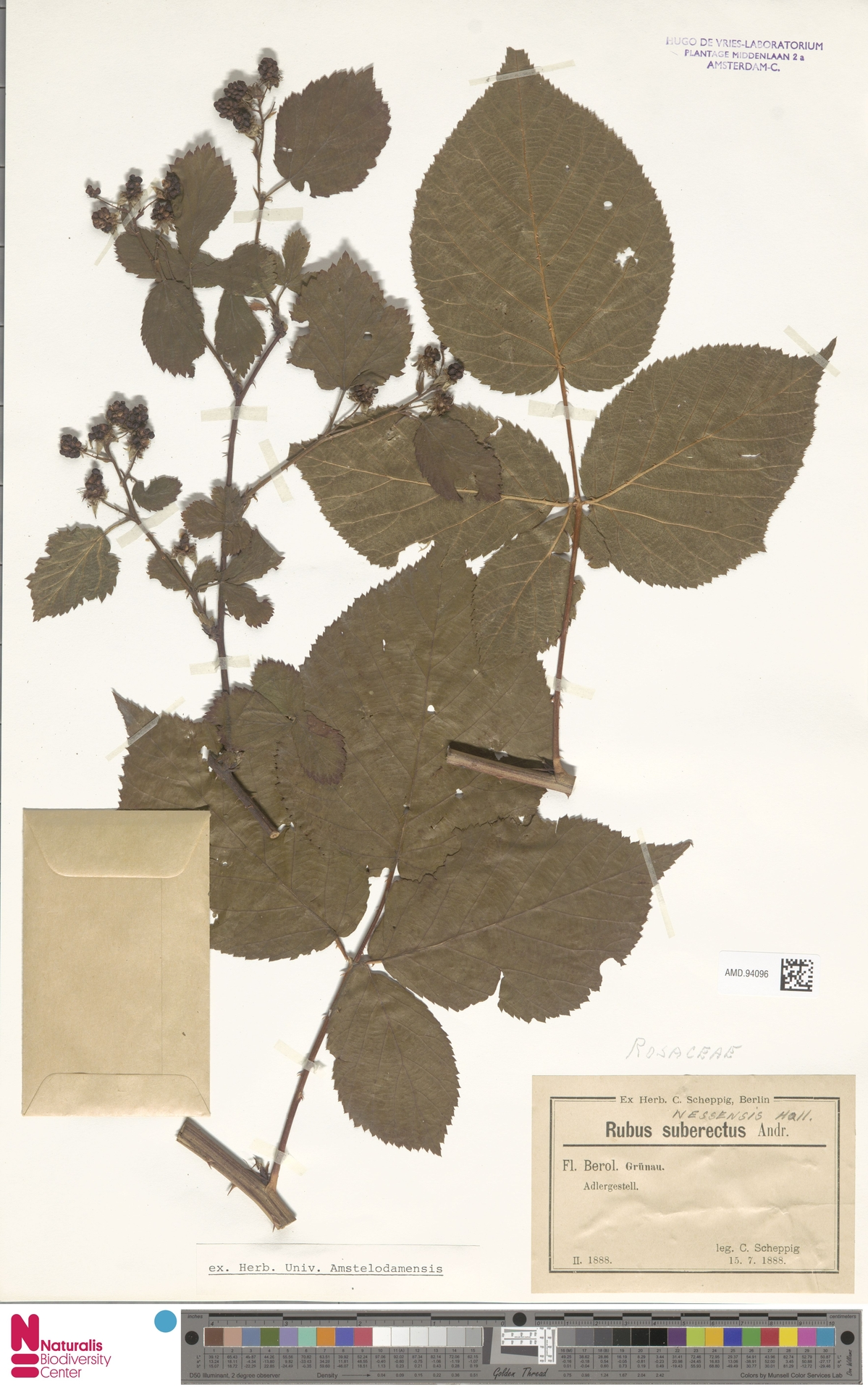 AMD.94096 | Rubus nessensis Hall